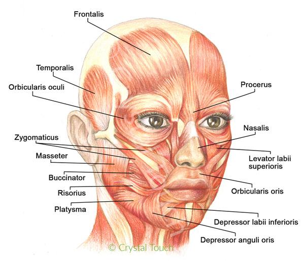 mięśnie twarzy
