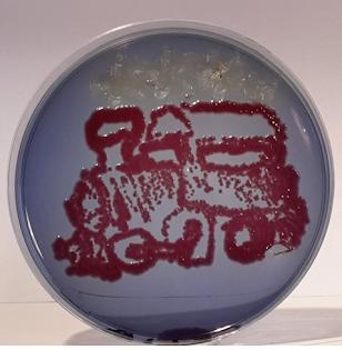 Drigalski + Escherichia coli et Salmonella enteritidis