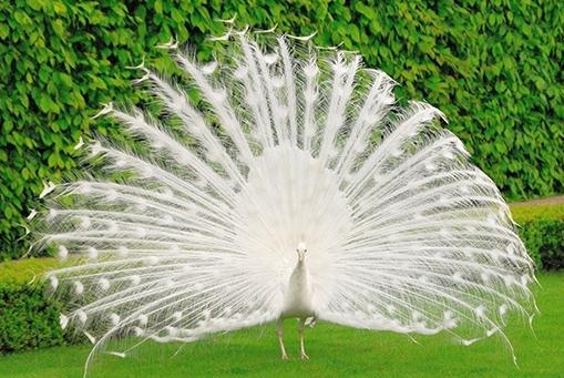 1.Mơ thấy chim công đang xòe cánh