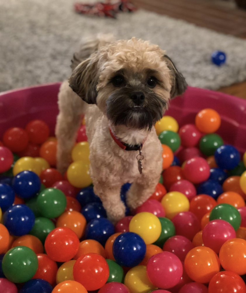 Small terrier stands in a ballpit as an enrichment for dogs activity.