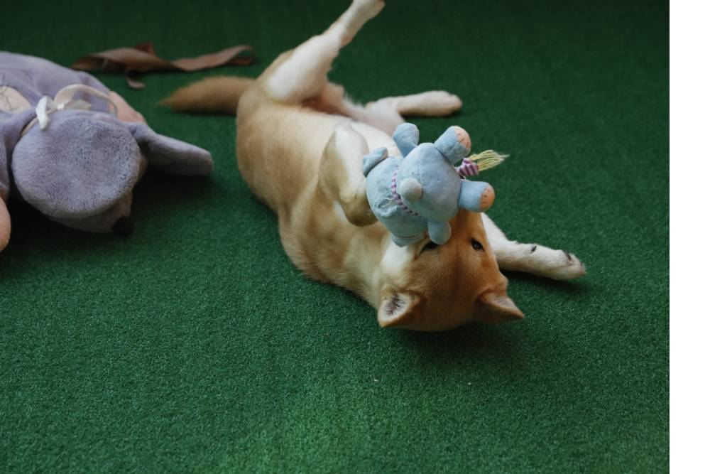 Are Shiba Inus really hard to train