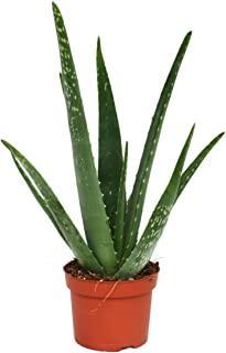Aloe vera - environ 3 ans - pot de 12cm