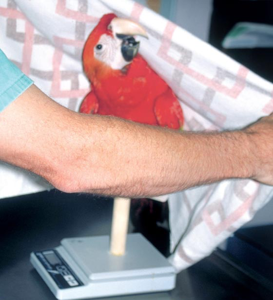 Slowly covering the bird with the towel in a reassuring way