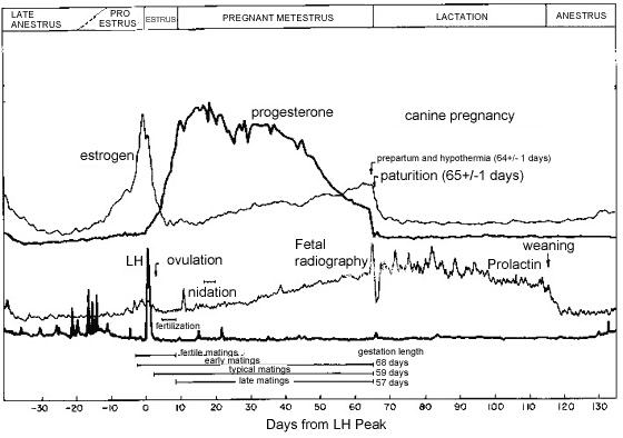 Diagrama de los cambios endócrinos típicos que ocurren durante el estro y la preñez canina. Adaptado de Concannon et al. [5]. Se observa la elevación de la concentración de la progesterona después de la ovulación, el pico de la concentración de la progesterona sérica hacia la mitad de la gestación, la disminución gradual en la última mitad de la gestación y la caída abrupta de la progesterona sérica justo antes del parto. Cuando se monitorea la concentración de la progesterona sérica durante la preñez, se debe considerar la concentración normal relativa concerniente a la etapa de la gestación.