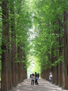 Nami Island Spring Season - South Korea Tour