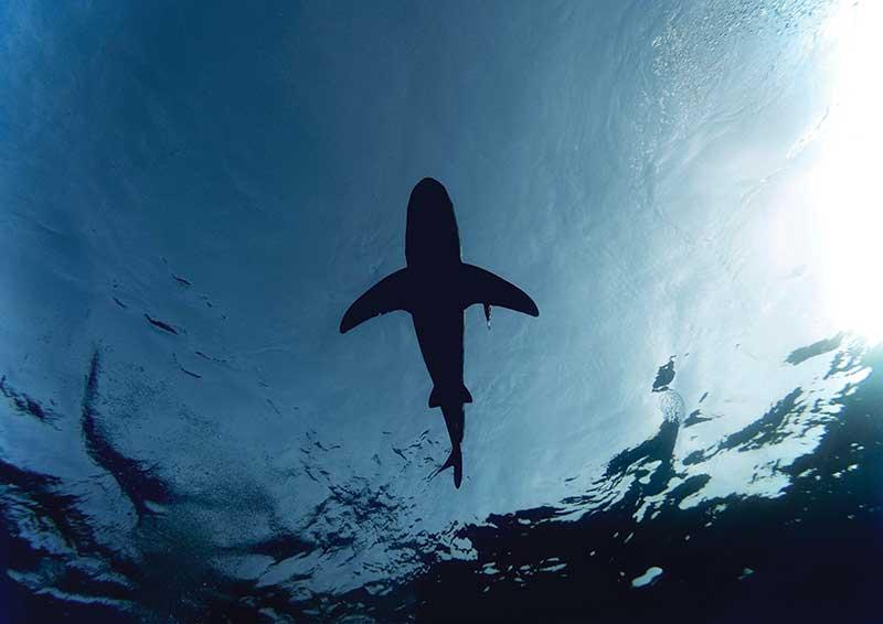 Tubarão: traders devem procurar seguir os Grandes Players