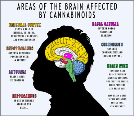 Cannabinoids are brain food