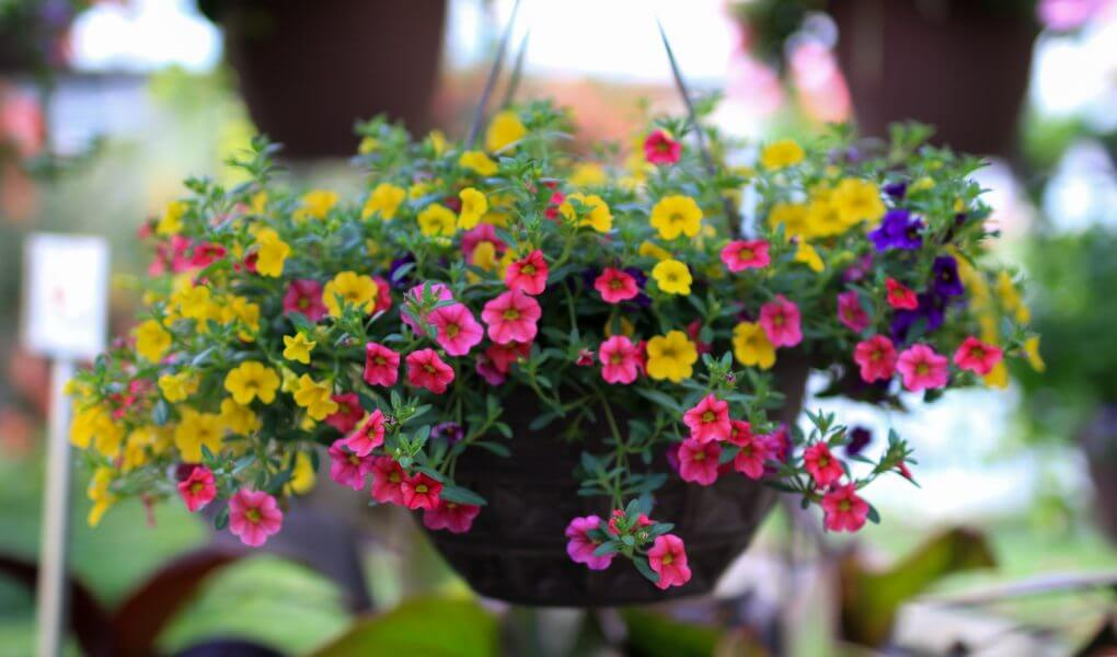 Petunia; Breathtaking Flowers That Start With P