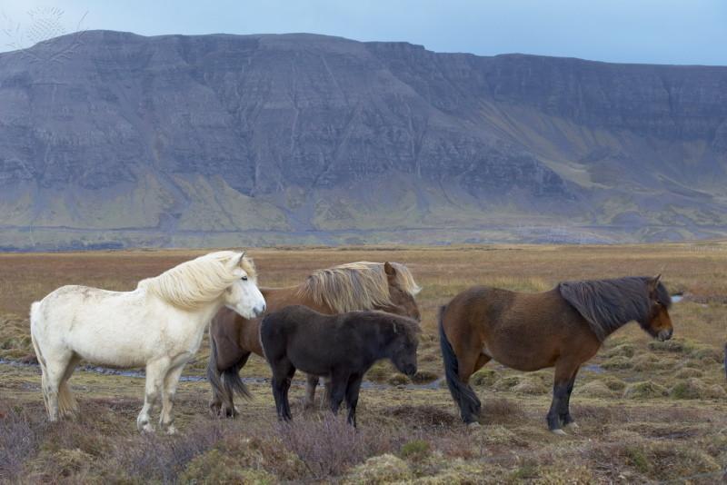 Iceland%20pics/horse1.jpg