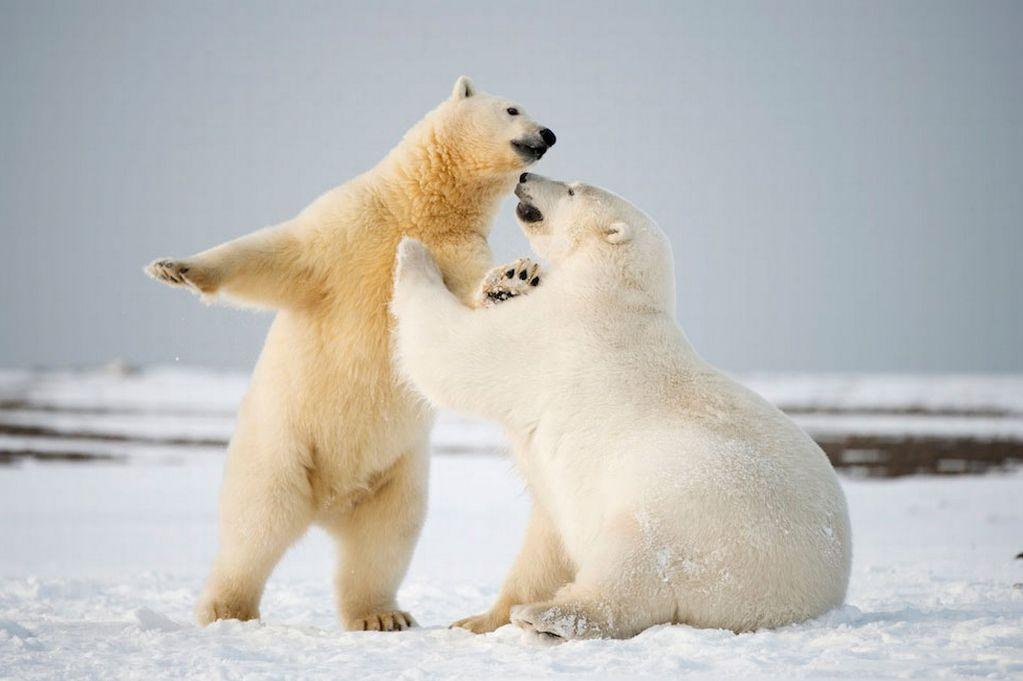 C:\Users\lenovo\Downloads\Playful-polar-bears-MAIN.jpg