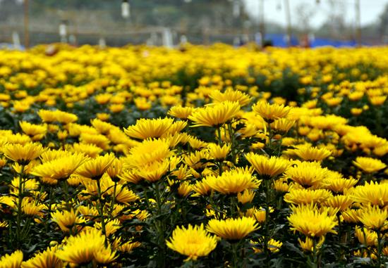 Trên một cành hoa cúc có hai loại hoa với kích thước khác nhau