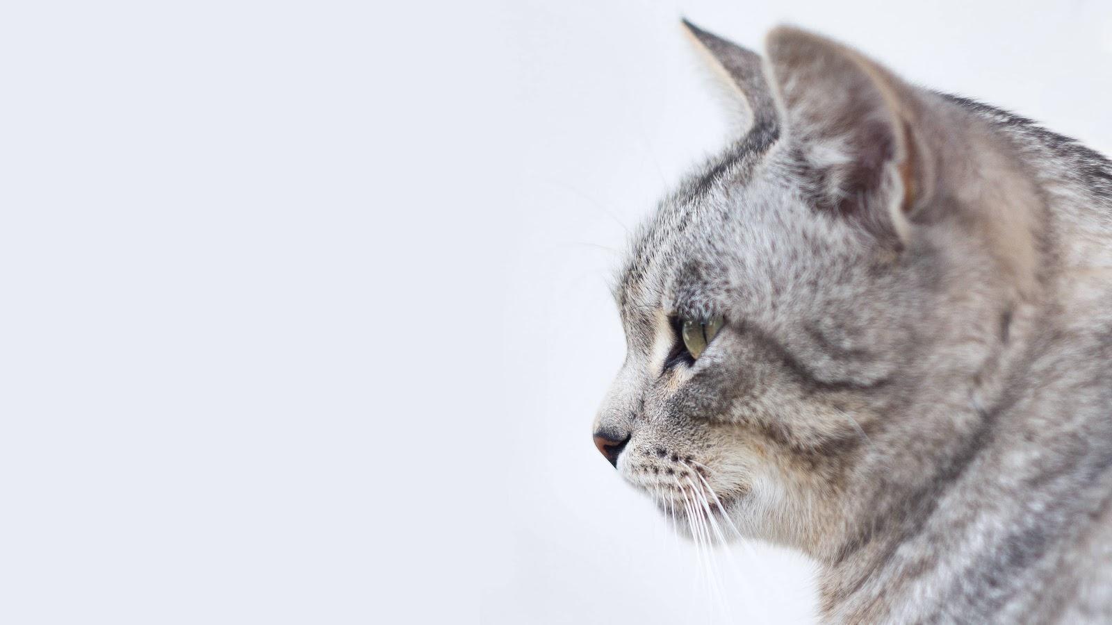 gatto-grigio-buoni-sconto-miscota