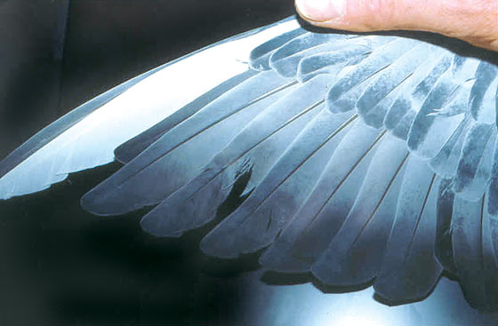 A section of this feather's vane is defective following a molt, supporting the evaluation of lack of proper condition