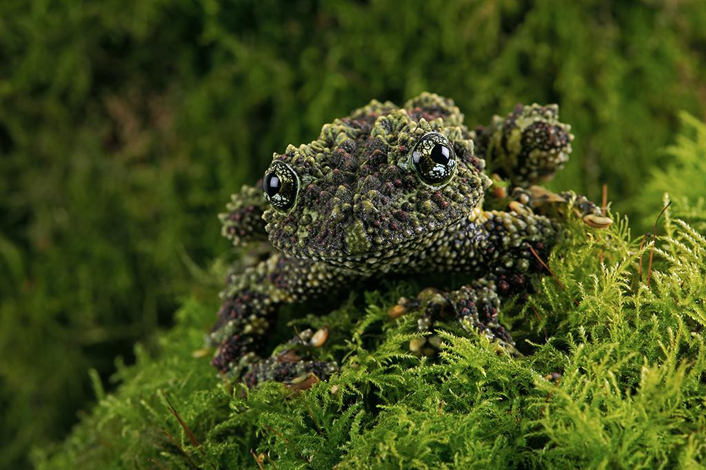 Image result for vietnamese mossy frogs