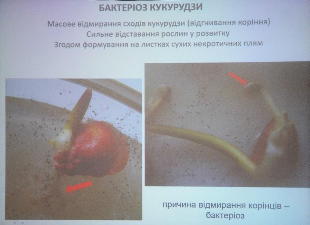 Бактеріоз кукурудзи