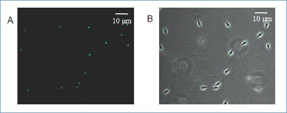 Rhodamine-123 marks the mitochondria of the S. purpuratus spermatozoa. Spermatozoa marked with 10 μM of rhodamine-123. A) Distribution of the fluorescence observed in a confocal microscope. B) Superimposition of the fluorescence with the phase.