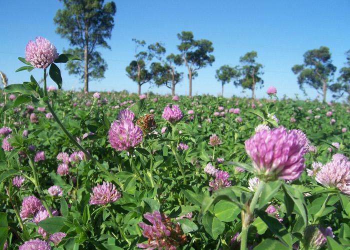 Novo cultivar de trevo-vermelho URS BRS Mesclador
