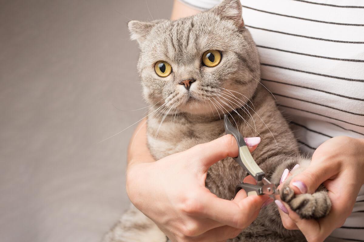habituez votre chat au coupe griffes
