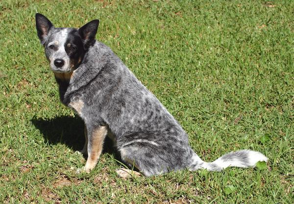 Facts on the Blue Heeler Dog