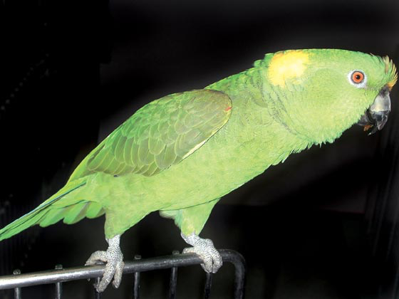 Sexually hormonal female yellow-naped Amazon parrot that is agitated