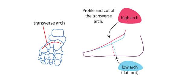 The transverse arch