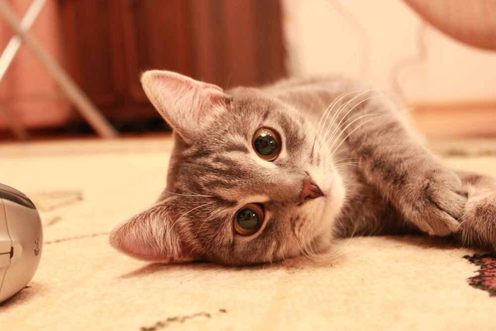 happy cat lays on the floor ready to play