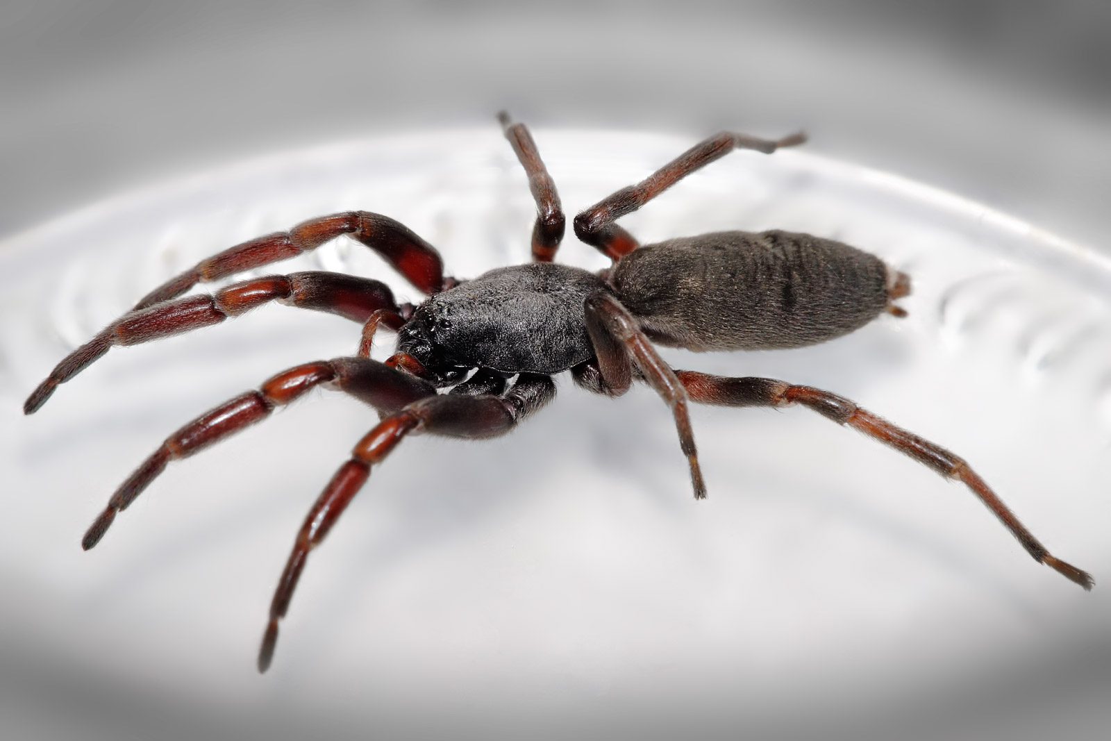 White_tailed_spider.jpg