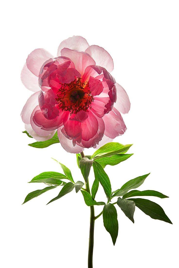 عکس از گل