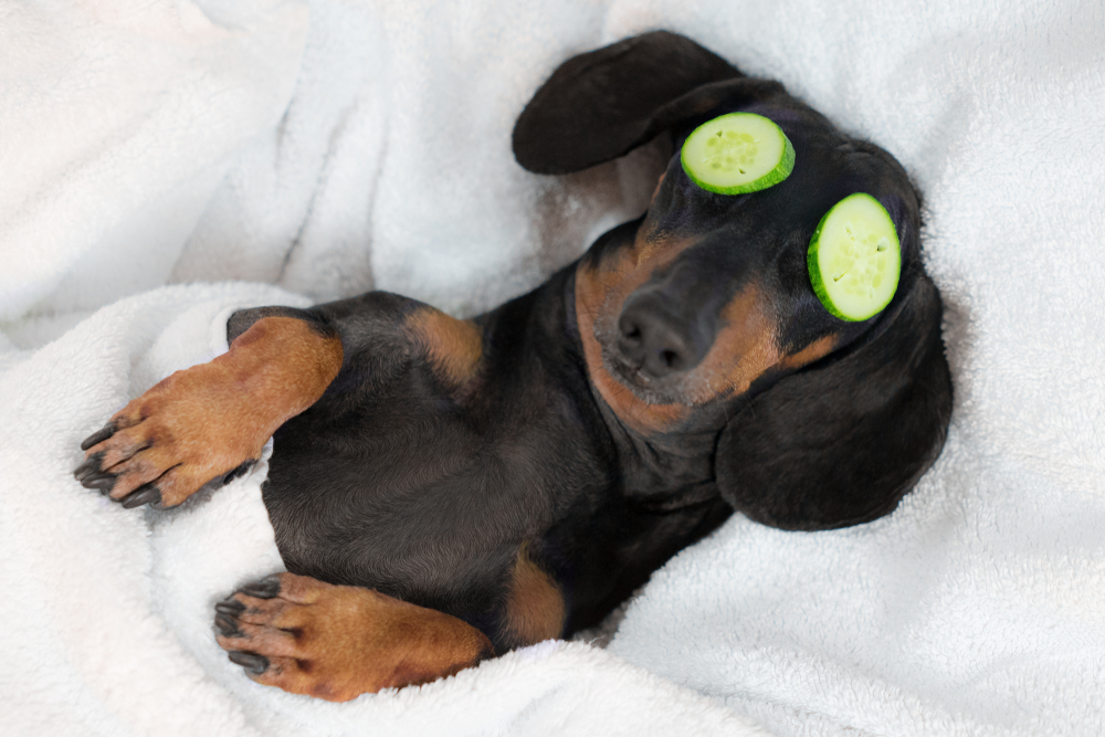 dachshund relaxing