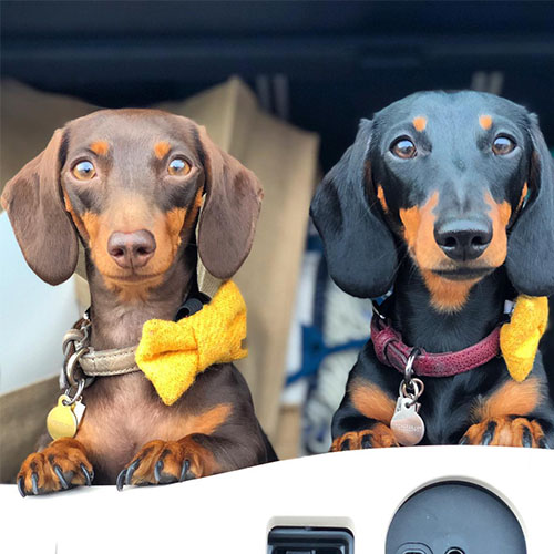 BorrowMyDoggy sausage dogs