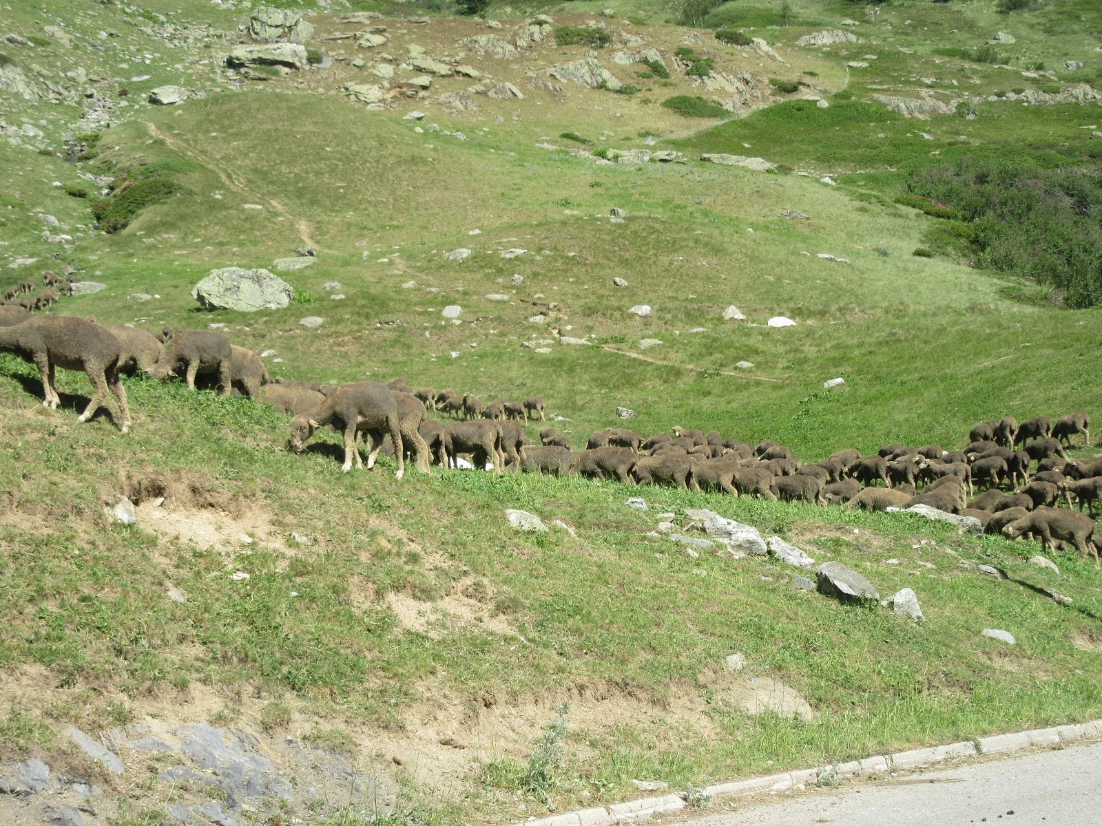Climbing by bike Col de la Croix de Fer, West  - sheep grazing