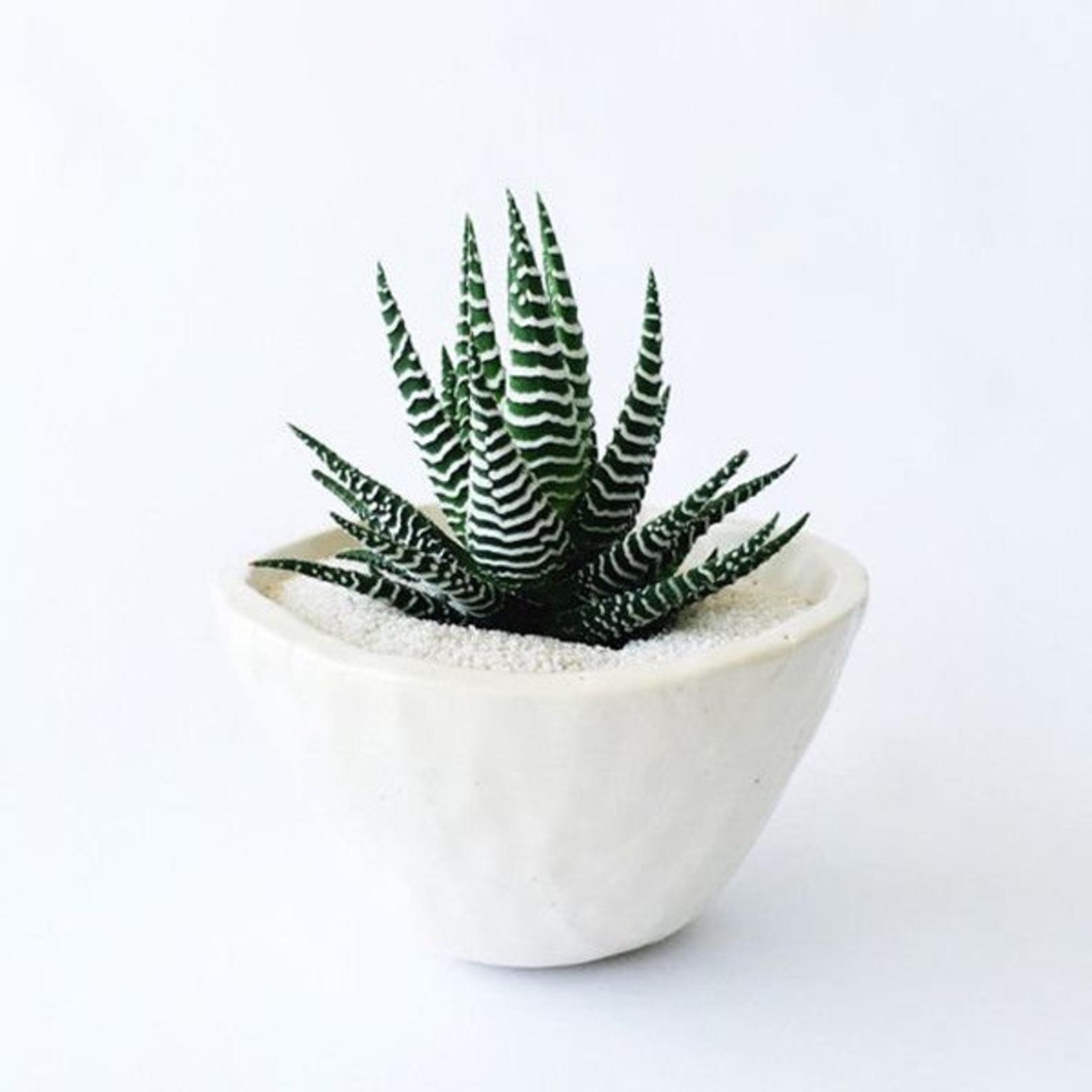 Zebra plant in white pot
