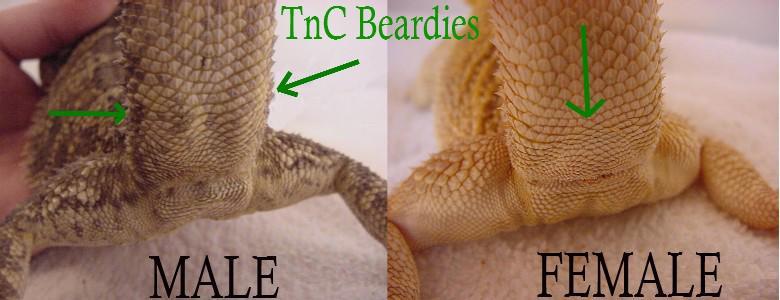 Male versus Female Hemipenal Bulges