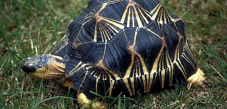 Image result for radiated tortoises