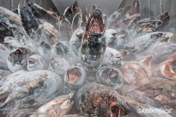 Albacore tuna is stacked and weighed before being shipped for processing into canned tuna. Greenpeace is exposing out of control tuna fisheries. Tuna fishing has been linked to shark finning, overfishing and human rights abuses.