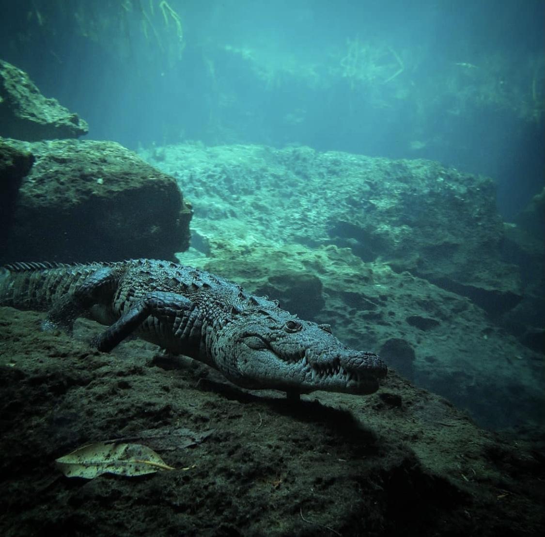 Panchito el cocodrilo que nada en un cenote