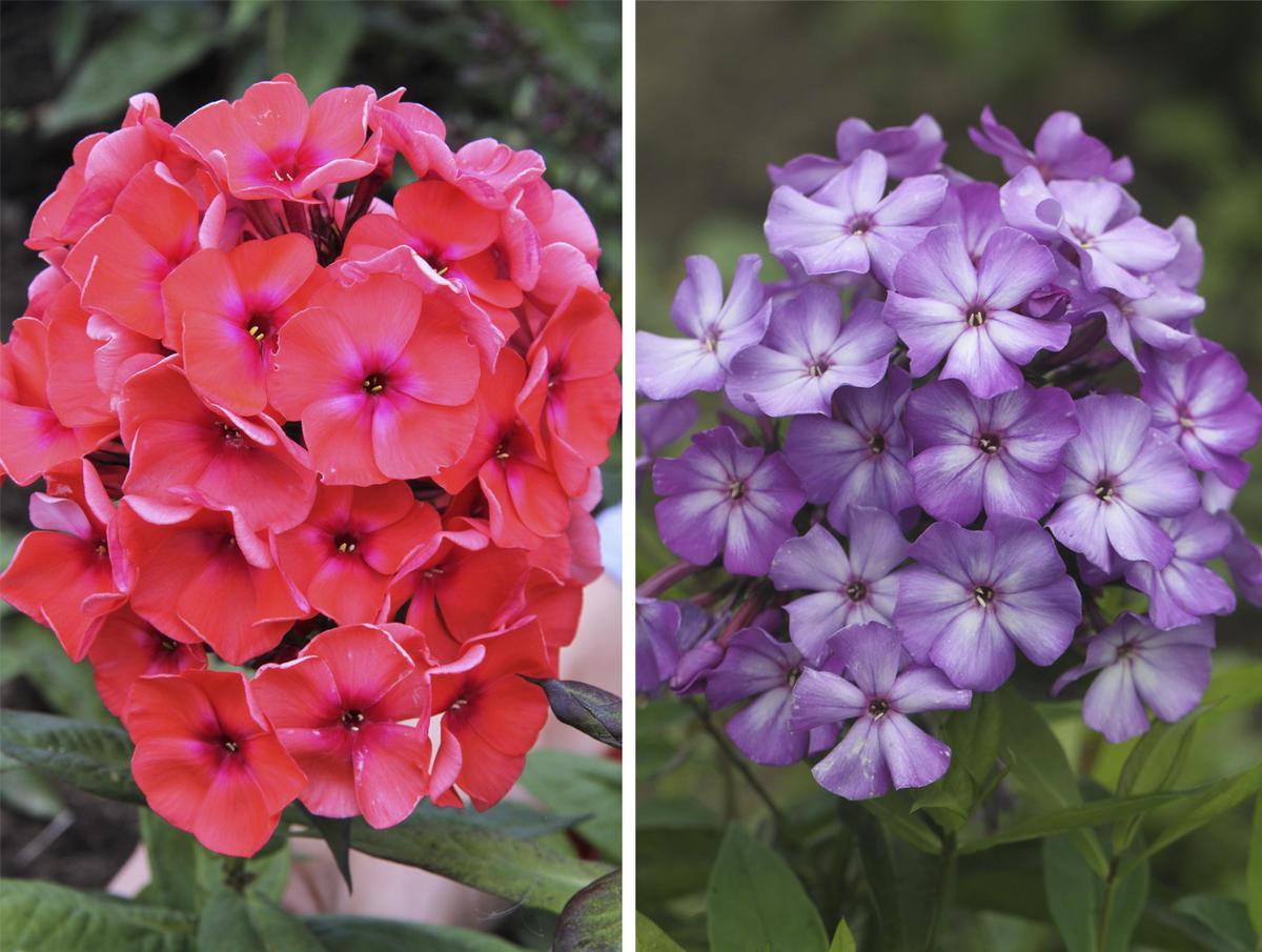 Цветы флоксов
