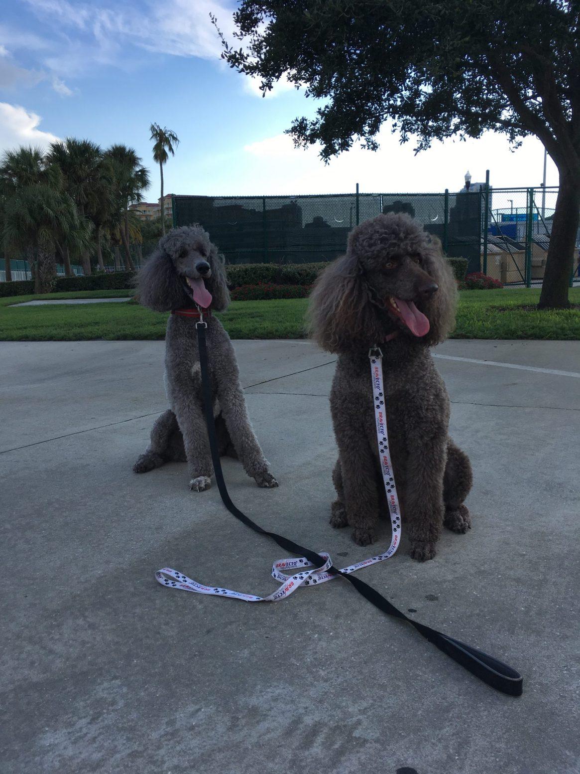 Pair of standard poodles