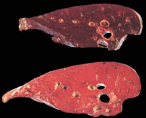 Comparison of atelectatic (upper) and normal (lower) sections of lung postmortem congestion of the lower lung may develop a similar colour to atelectic lung but on transverse section, as shown here, will typically ooze blood and edema fluid.