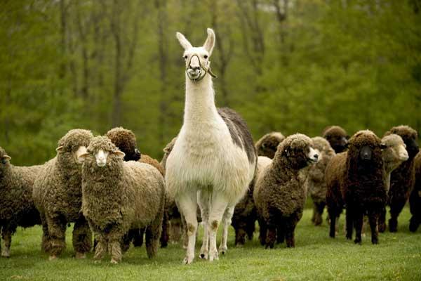 Guard llama with his sheep friends