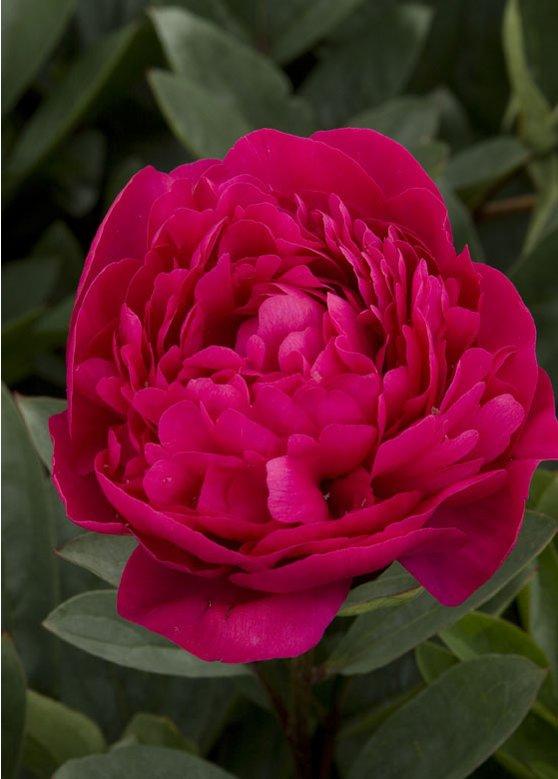 Kansas peony flower