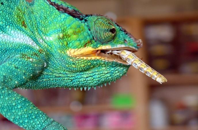 Image result for panther chameleons eating