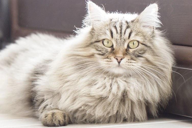 mèo siberian giá