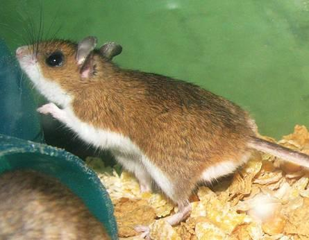 http://drkaae.com/Vertebtrates/Chapter_3_Voles_Deer_Mice_Pack_Rats_files/image004.jpg