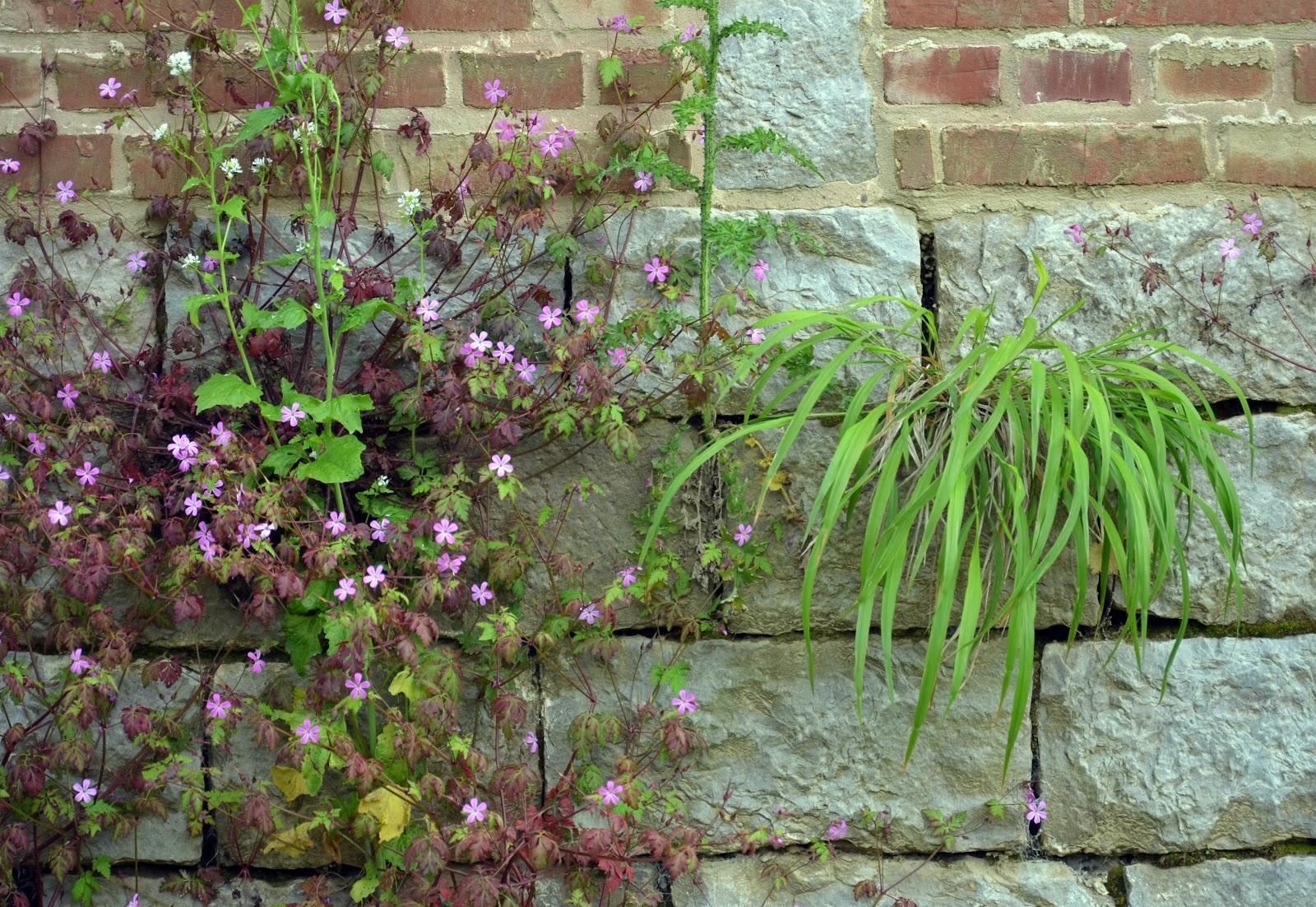 Citadelle_de_Lille_2013_plantes_muricoles_06.JPG