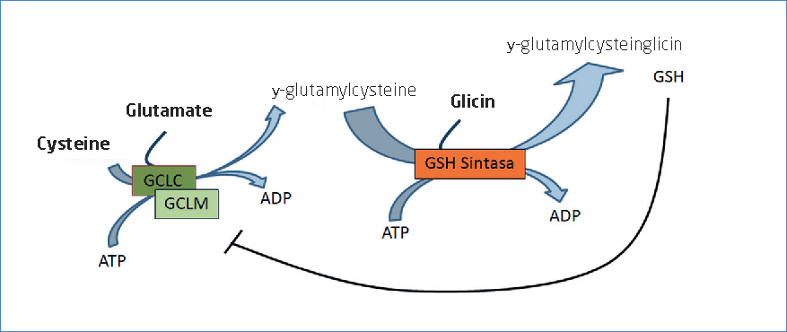 Representation of the glutathione synthesis (modified from Martínez-Sámano, 2011; Lu, 2013).