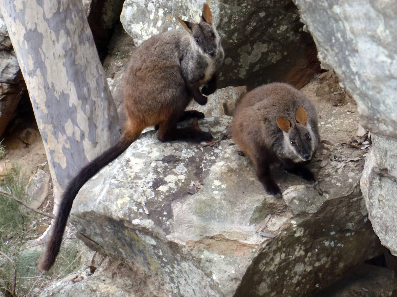 brush-tailed rock-wallabies