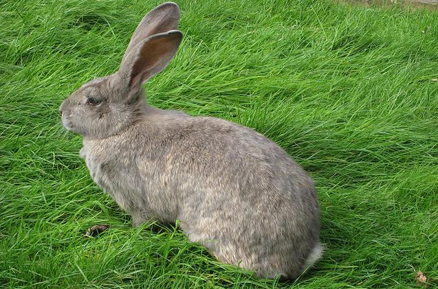 Image result for british giant rabbit