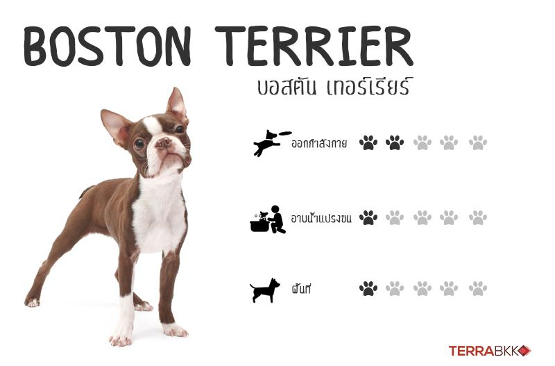 1. บอสตันเทอร์เรียร์ (Boston Terrier)