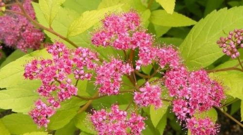 Цветы спиреи